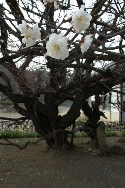 臥竜梅の花
