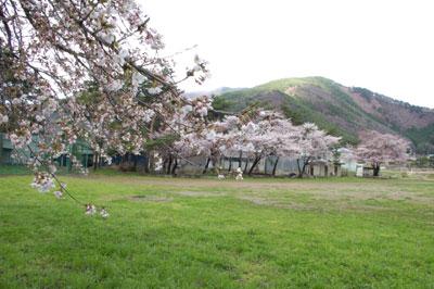 村石グランドの桜