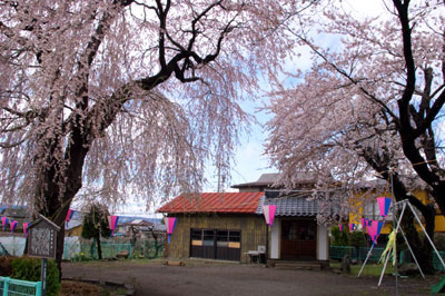 准胝観世音の枝垂れ桜