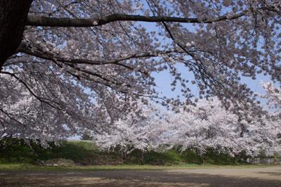 米持グラウンドの桜