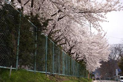 森上小学校の桜