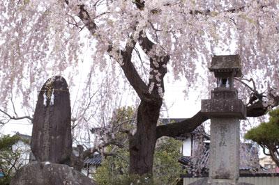 臥竜公園の枝垂れ桜