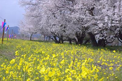 九頭竜の桜
