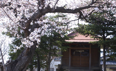 井上太子堂の桜
