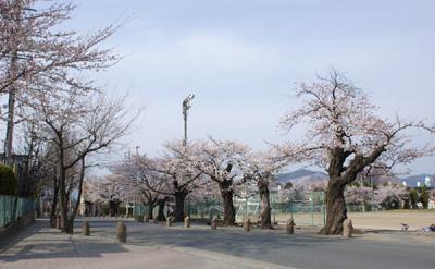 須坂市民体育館前の桜