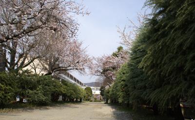 須坂小学校正門の桜