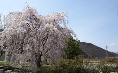 大廣院の枝垂れ桜
