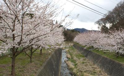 奈良川沿いの桜