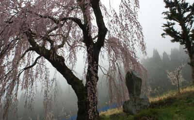 弁財天の枝垂れ桜